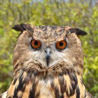 Bird Show - Eagle owl