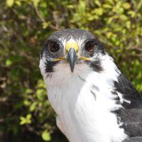 Falcon at the Bird Show