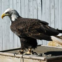 Cheyenne the Bald Eagle