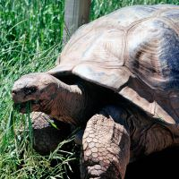 Methuselah the Galapagos Tortoise