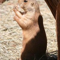 Mr Prairie Dog