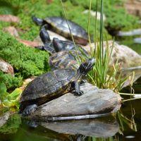 Tortuga Falls Turtles