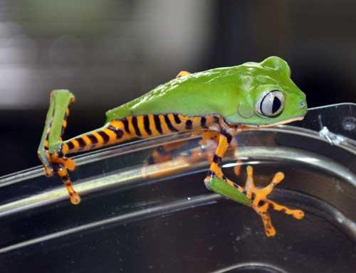 Tiger-leg Monkey Tree Frog
