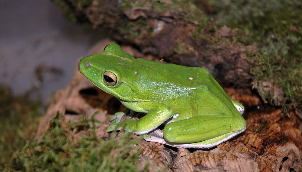 Tree Frog Giant