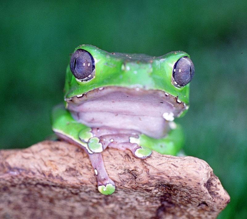 Waxy Tree Frog
