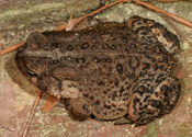An image of a birds-eye view of an American Toad.