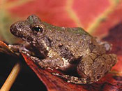 Image of a Blanchard's Cricket frog sitting on top of a red leaf.