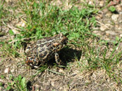 Image of a Canadian Toad sitting in a patch of grass.