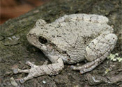 Image of a Cope's Gray Tree Frog sitting on top of a log.