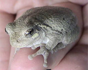 Image of a Gray Treefrog sitting in the palm of someones hand.