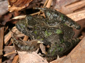 Image of a Northern Cricket Frog.