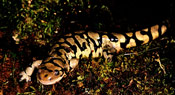 Image of a Tiger Salamander laying on top of moss.