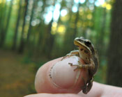 Image of a Western Chorus Frog sitting on top of a finger, no bigger than the index fingernail.