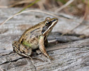 Image of a Wood frog.