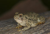 Image of a Woodhouse's Toad sitting on top of a log.