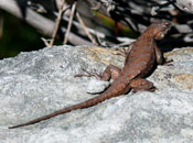 An image of a Northern Prairie Lizard sitting on top of a boulder.