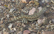 Lesser or Northern Earless Lizard