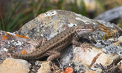 Image of a Northern Sagebrush Lizard perched on top of rocks.