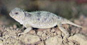 Image of a Eastern Short-horned Lizard resting on top of pebbles.