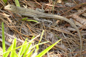 Image of a Prairie Six-lined Racerunner blending in with pine needles, grass, and rocks.