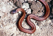Image of a Black Hills Redbelly Snake.