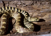 Image of a Bull Snake on top of a log.