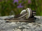 Image of a Lined snake coiled up on top of a rock.