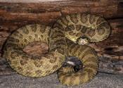 Image of a Prairie Rattlesnake.
