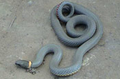 Image of a Prairie Ringneck Snake coiled up on pavement.