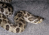 Image of a Western Hognose Snake.
