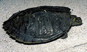 Image of a False Map turtle.