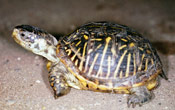 Image of an Ornate Box Turtle.