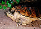 Image of a common snapping turtle.