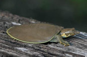 Image of a Midland Smooth Softshell turtle sitting on top of a log.