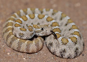 Lower California Rattlesnake Baby