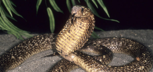 common cobra