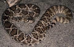 Western diamondback rattlesnake venom - photo#11