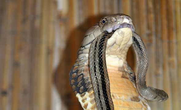 Learn about SnakesKing Cobra Eating Another Snake