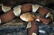 Image of a Copperhead snake on top of a log.