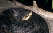 Image of a black Cottonmouth snake coiled up on the ground.