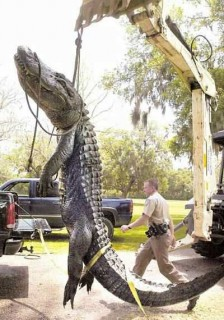 Huge gator, or forced perspective?