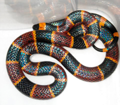 This is what a southeastern US Coral Snake looks like.